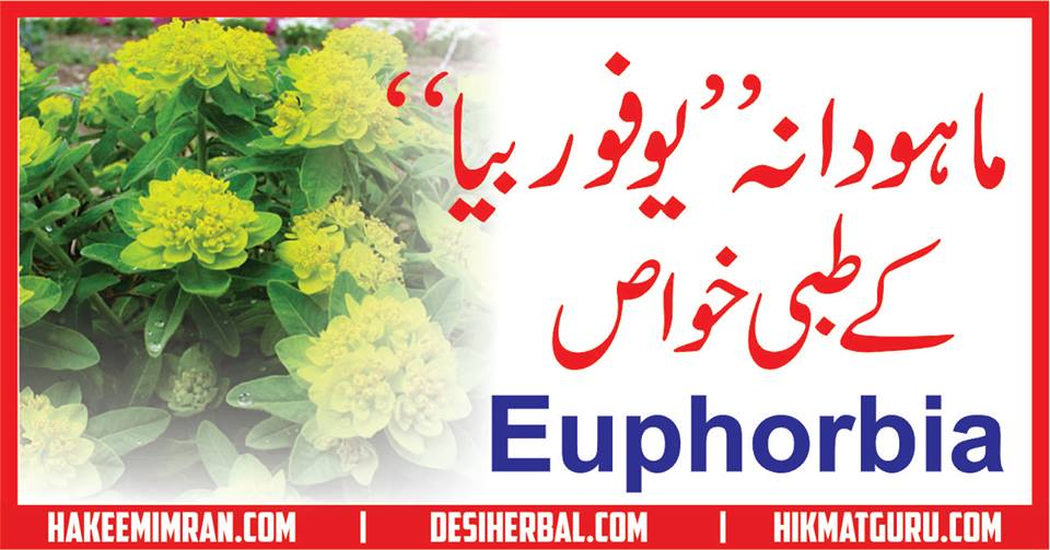 Mahoo Dana(Euphorbia) Benefits in urdu ماہودانہ کے طبعی فائدے