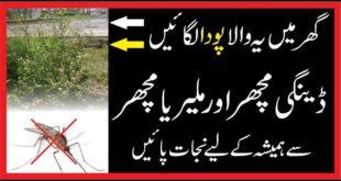 Dengue Machar|Malaria In Urdu| Malaria and Dengue| Sy Bacaho